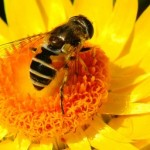 Honey bee collecting pollen