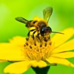 P-honey bee-flower-pollen-2