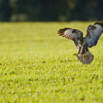 Buzzard in field of winter wheat, Bedfordshire, (Photo; Andy Hay RSPB)