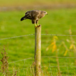 Buzzard perched on fence post with prey, UK. Photo: Ben Hall RSPB