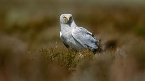 Hen Harrier (photo credit Andy Hay RSPB)