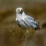 GLIMMER OF HOPE FOR ENGLAND'S HEN HARRIERS