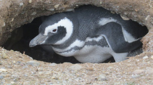Magellanic penguin's nest