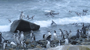 Magellanic penguins in the waves