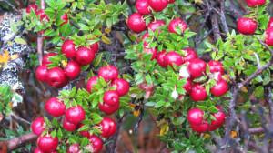 Calafete berries