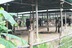 Elephant in Camp in Chiang Mai Province, Thailand. This facility proved to be home to seven illegally caught wild elephants