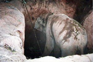 Young Asian Elephant caught in pit trap, Myanmar