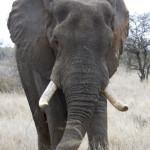 Bull African Elepant © Naomi Doak / TRAFFIC