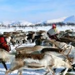 Reindeer in Norway - wildlife safaris in Norway