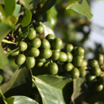 Coffee beans waiting to ripen in Kenya