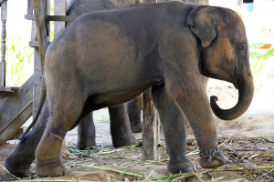 Young wild elephant at a holding camp on the Thai-Myanmar border