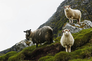 Very cute Faroe Islands sheep