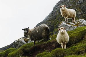 Very cute Faroe Islands sheep