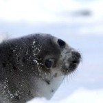 Seal - photo courtesy of IFAW