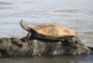 Argentine turtle