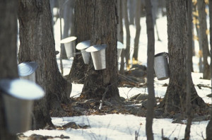 Maple buckets collecting the water