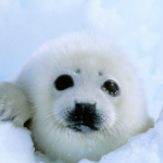 END OF SEAL HUNTING EUROPE?
