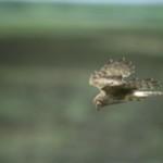 Female Hen Harrier in flight (Photo: Andy Hay RSPB)