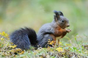Black red squirrel Copyright Alamy