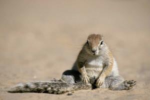 Cap ground squirrel Copyright Alamy