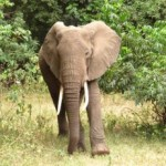 ELEVEN ENTHRALLING ELEPHANT FACTS
