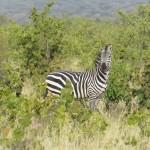 Tanzanian zebra