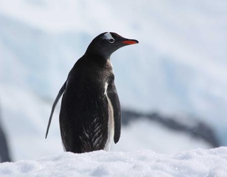 P-gentoo penguin-antarctica