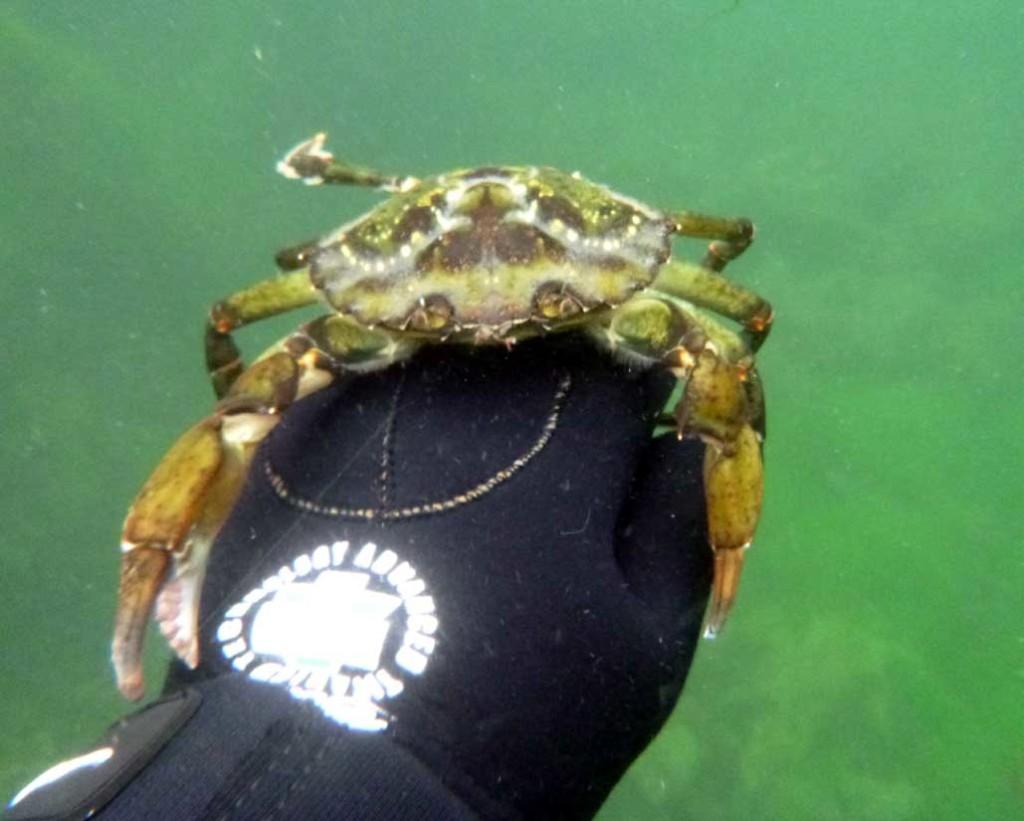 Crab at Loch Skipport