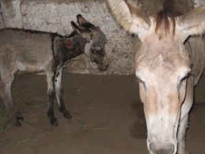 Sad Donkeys in India_PETA owns
