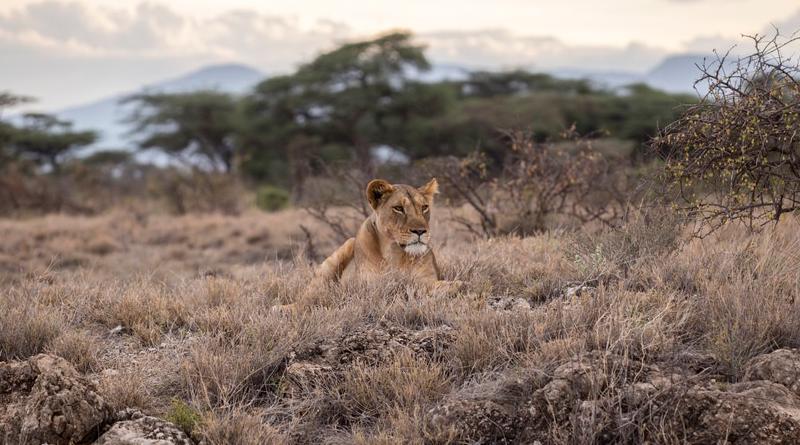 p-animal-lion-africa