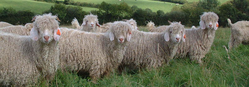 P-author-Corrymoor Angora Goats