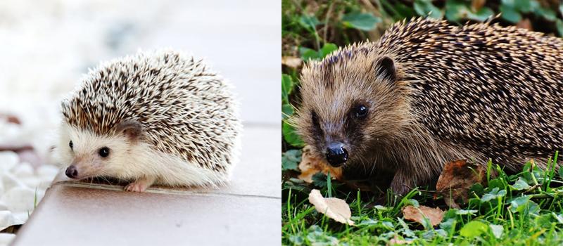 P-hedgehogs-African pygmy-West-European